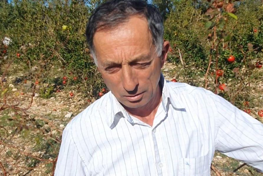 Prodhimi i verës së shegës/ Agronomi e nxjerr në Dukat të Ri, idenë ia dha  një izraelit - Top Channel